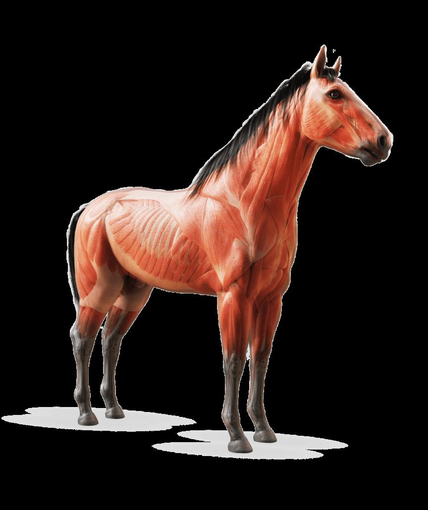 Pferd Indikationen